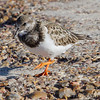 Ruddy Turnstone <br /> Port Aransas <br /> Texas