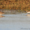 Long-billed Dowitcher and Dunlin? <br /> Lamar Peninsula <br /> Texas