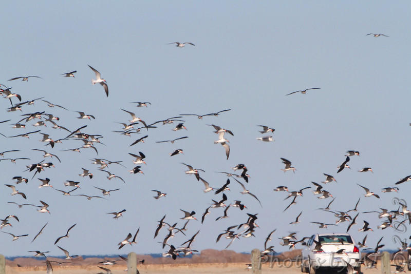 Black Skimmers <br /> Port Aransas <br /> Texas