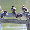 Green-winged Teal <br /> Port Aransas <br /> Texas