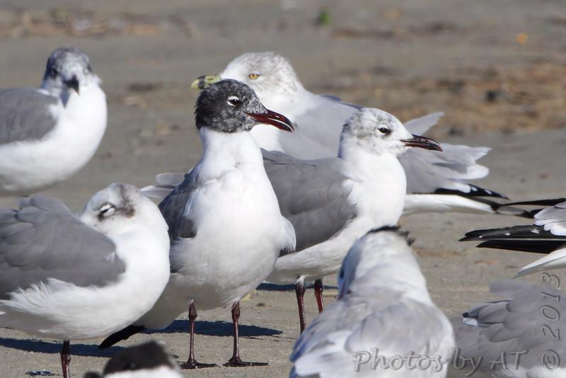 Laughing Gull <br /> Port Aransas <br /> Texas