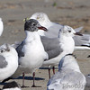 Laughing Gull <br /> Port Aransas <br /> Texas