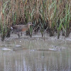 Clapper Rail <br /> Bolivar Flats <br /> Frenchtown Road <br /> Texas