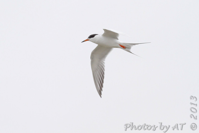Forster's Tern <br /> Taken on the Galveston Ferry <br /> Texas