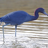 Little Blue Heron <br /> Sportsman Road <br /> Galveston Island <br /> Texas