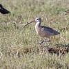 Long-billed Curlew <br /> 8 Mile Road <br /> Galveston Island <br /> Texas