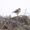 Red-tailed Hawk <br /> Seawall Blvd  <br /> Galveston Island <br /> Texas