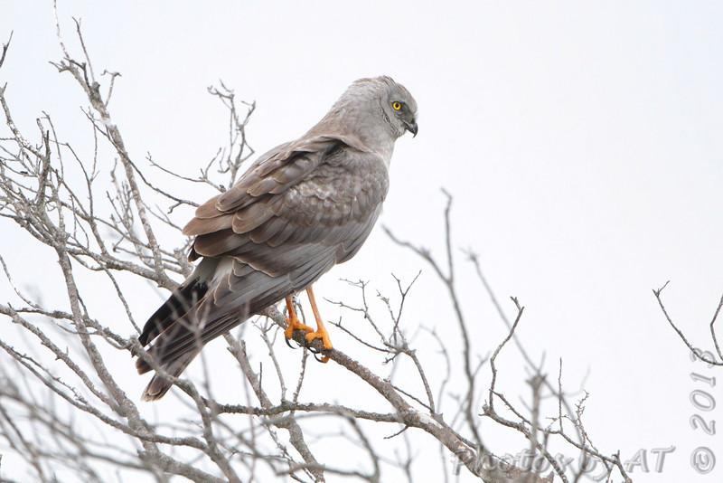 Norhtern Harrier (male) <br /> Apffel Road <br /> Galveston Island <br /> Texas
