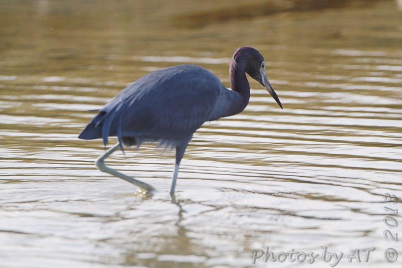 Little Blue Heron <br /> Sportsman Road <br /> Galveston Island <br /> Texas