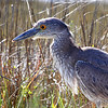 Yellow-crowned Night-Heron <br /> Sportsman Road <br /> Galveston Island <br /> Texas