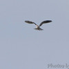 White-tailed Kite <br /> Seawall Blvd <br /> Galveston Island <br /> Texas