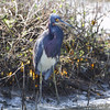 Tricolored Heron <br /> Sportsman Road <br /> Galveston Island <br /> Texas