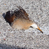 Clapper Rail <br /> Sportsman Road <br /> Galveston Island <br /> Texas