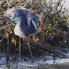 Tricolored Heron <br /> Sportsman Road <br /> Galveston Island <br /> Texas