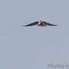 White-tailed Kite <br /> Seawall Blvd <br /> Galveston Island <br /> Texas