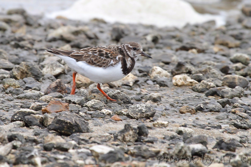 Ruddy Turnstone <br /> Jetty at west end of  Galveston Ferry <br /> Texas