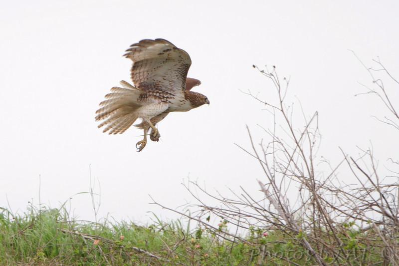 Red-tailed Hawk <br /> Seawall Blvd  <br /> Galveston Island <br /> Texas