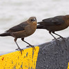 Boat-tailed Grackles <br /> Taken on the Galveston Ferry <br /> Texas