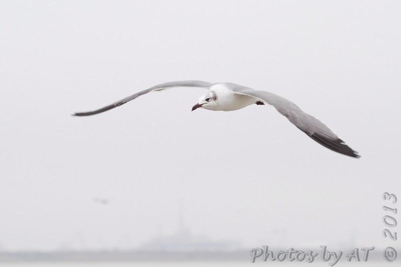 Laughing Gull <br /> Taken on the Galveston Ferry <br /> Texas