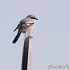 Loggerhead Shrike <br /> 8 Mile Road <br /> Galveston Island <br /> Texas