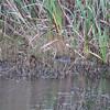 Alligator <br /> Sabine National Wildlife Refuge <br /> Louisiana