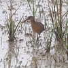 Clapper Rail <br /> Frenchtown Road <br /> Bolivar Flats <br /> Texas