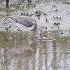Dowitcher sp. <br /> Frenchtown Road <br /> Bolivar Flats <br /> Texas