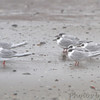 Forster's Terns in the fog <br /> Galveston Ferry Bolivar Flats jetty <br /> Texas