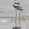 American Avocet in the fog <br /> Galveston Ferry Bolivar Flats jetty <br /> Texas