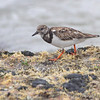 Ruddy Turnstone <br /> Galveston Ferry Bolivar Flats jetty <br /> Texas