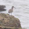 Willet <br /> Galveston Ferry Bolivar Flats jetty <br /> Texas