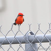 Vermilion Flycatcher  <br /> Anahauc National Wildlife Refuge <br /> Texas