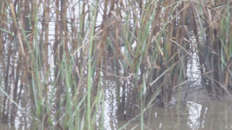 """Clapper Rail  <br> Frenchtown Road   <br> Bolivar Flats, Texas <br><br><span class=""""noShowSmart""""> <a href=""""/MyKeywords/Bird-Videos/n-gF9bt/i-jfDkSDX/A""""> <span style=""""color:yellow"""">Click here to open video in lightbox/full screen</span></a> <br><br></span>  <span class=""""noShowGallery""""> <a href=""""/Birds/Birding-2013-January/2013-01-12-Bolivar-Anahauc-NWR/i-jfDkSDX/A""""> <span style=""""color:yellow"""">Click here to open video in lightbox/full screen</span></a> </span>"""