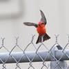 Vermilion Flycatcher  <br /> Anahauc National Wildlife Refuge <br /> Texas