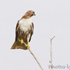 Red-tailed Hawk <br /> Bolivar Flats <br /> Texas