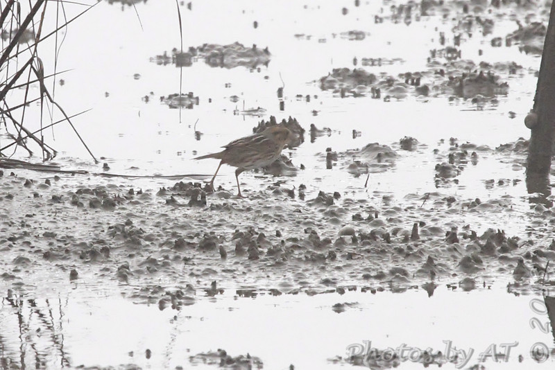 Sharp-tailed (Nelson's) Sparrow <br /> Frenchtown Road <br /> Bolivar Flats <br /> Texas