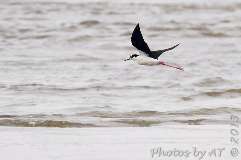 Black-necked Stilt <br /> While waiting for the Cameron Ferry <br /> Louisiana
