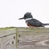 Belted Kingfisher <br /> Sabine National Wildlife Refuge <br /> Louisiana