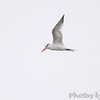? Royal Tern ?  <br /> Sabine National Wildlife Refuge  <br /> Louisiana