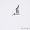 ? Royal Tern ?  <br /> Sabine National Wildlife Refuge  <br /> Louisiana