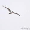 ? Royal Tern ?<br /> Sabine National Wildlife Refuge <br /> Louisiana