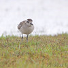 Black-bellied Plover <br /> Holly Beach <br /> Louisiana