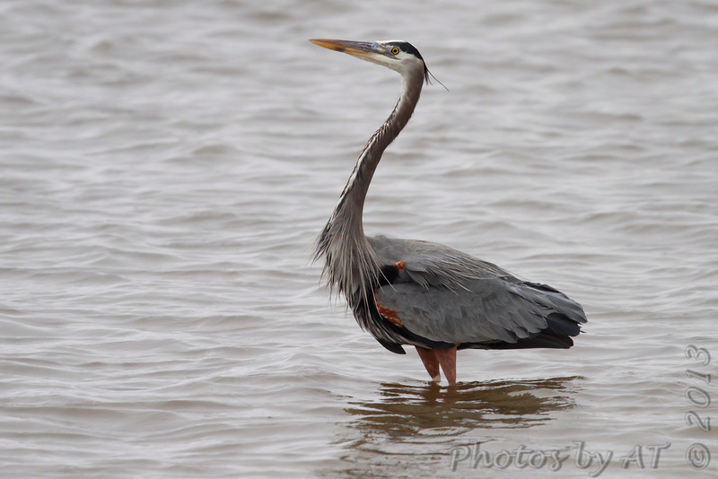 Great Blue Heron <br /> While waiting for the Cameron Ferry <br /> Louisiana