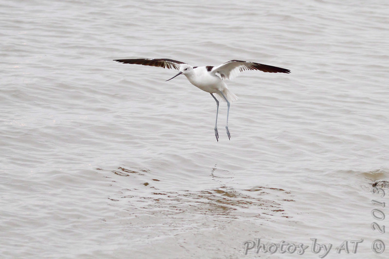 American Avocet <br /> While waiting for the Cameron Ferry <br /> Louisiana