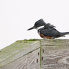 Belted Kingfisher <br /> Sabine National Wildlife Refuge <br /> Louisiana