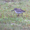 Dunlin <br /> Holly Beach <br /> Louisiana