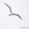 ? Royal Tern ?<br /> Sabine National Wildlife Refuge <br /> Louisiana