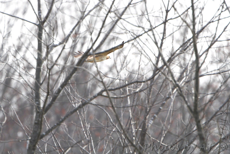 12/30/2012<br /> Red-tailed Hawk <br /> We stopped on our way to Texas to try to <br /> see the Lesser Goldfinch with no luck.<br /> Nixa, Christian County, MO