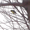 """Green-backed"" Lesser Goldfinch <br /> Nixa, Christian County, MO"