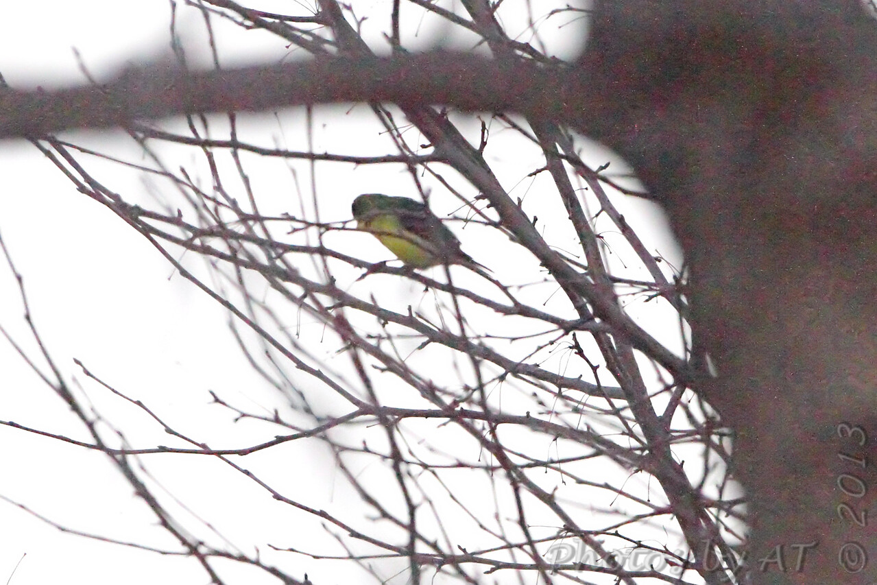 """Green-backed"" Lesser Goldfinch <br /> Nixa, Christian County, MO"